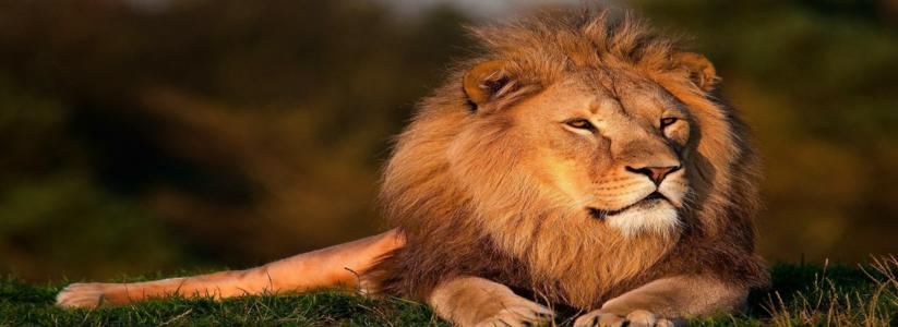 lion-794962_1280__editt